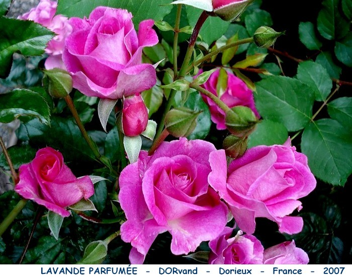 Rose lavande parfumee dorvand dorieux france 2007 rosespassion