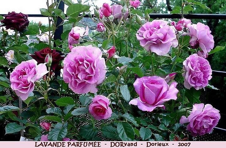 Rose lavande parfumee dorvand francois dorieux 2007 roses passion