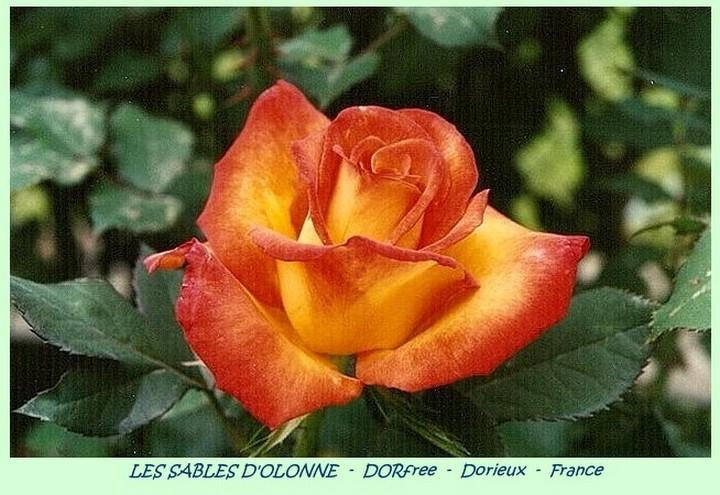 Rose les sables d olonne dorfree francois dorieux 2000