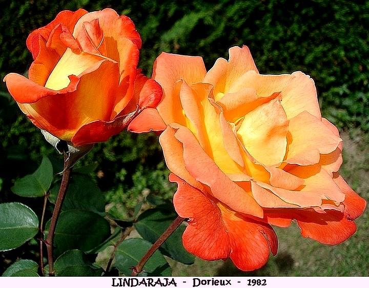 Rose lindaraja francois dorieux 1982 roses passion