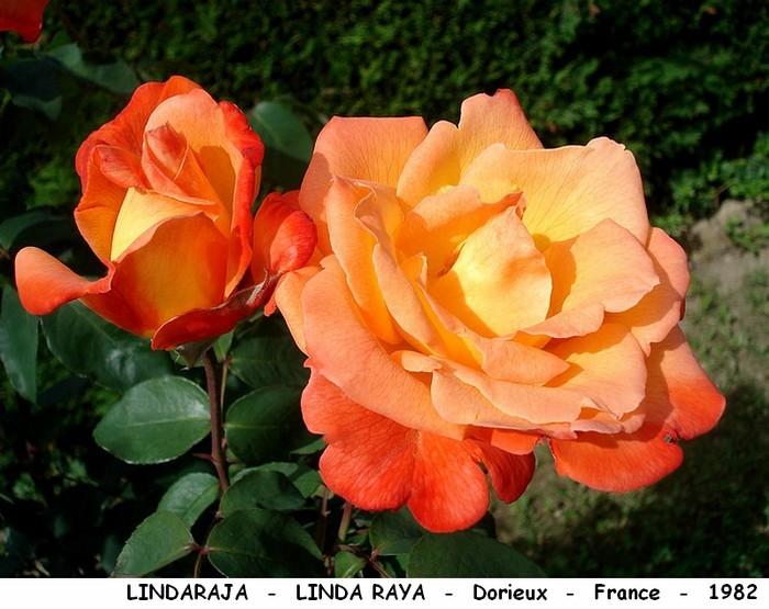 Rose lindaraja linda raya dorieux france 1982 roses passion