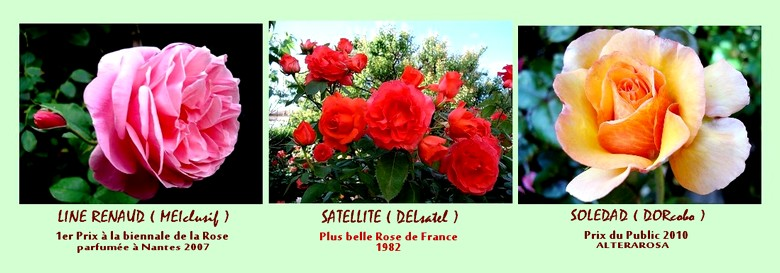 rose-line-renaud-rose-satellite-rose-soledad-roses-passion.jpg
