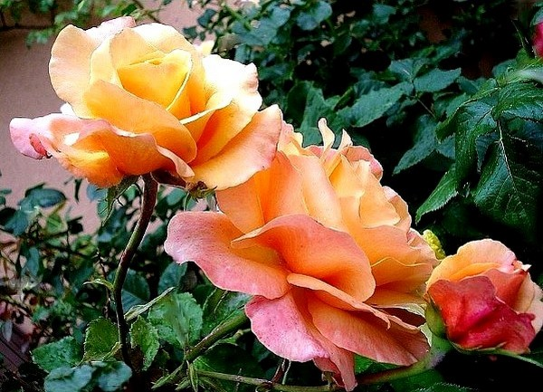 rose-lolita-roses-passion-8025.jpg