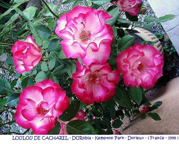 rose-loulou-de-cacharel-dorobla-kempton-park-dorieux-france-1998.jpg