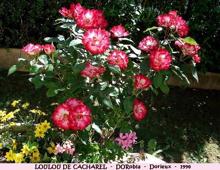 Rose loulou de cacharel dorrobla francois dorieux 1998 roses passion