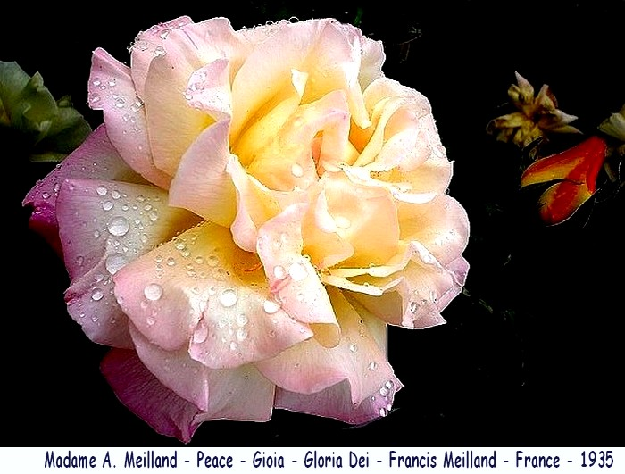 Rose madame a meilland peace gioia gloria dei francis meilland france 1935 roses passion