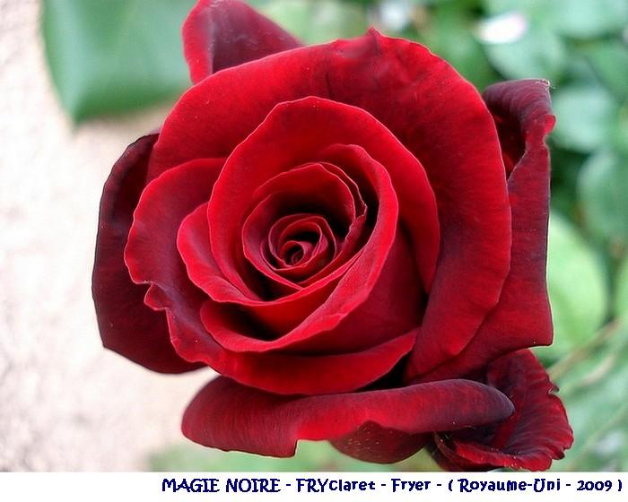 rose-magie-noire-fryclaret-fryer-royaume-uni-2009.jpg