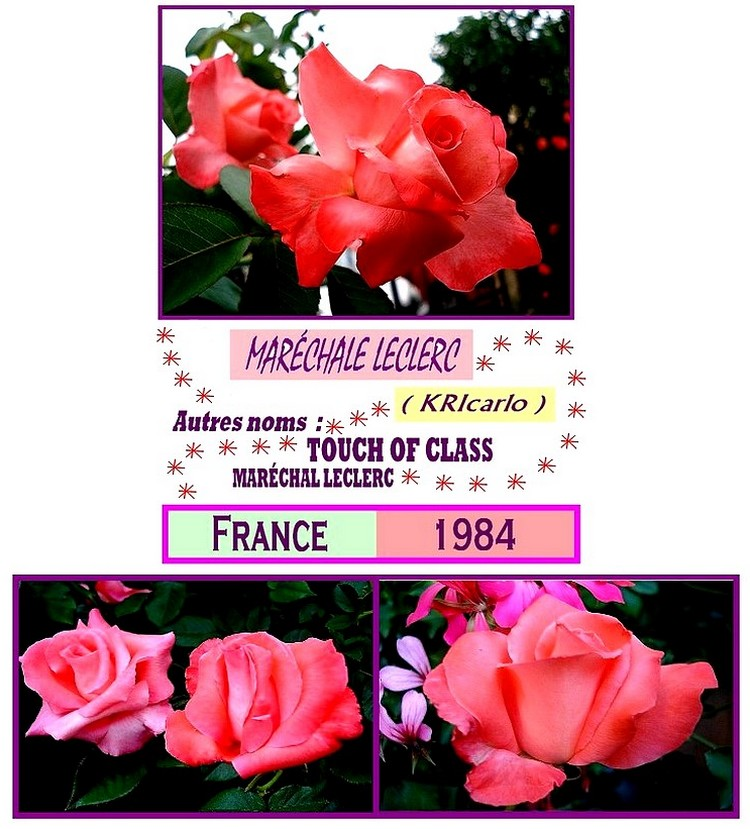 rose-marechale-leclerc-roses-passion-touch-of-class.jpg