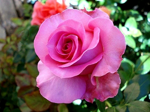 rose-marie-ange-nardi-6-roses-passion-802.jpg