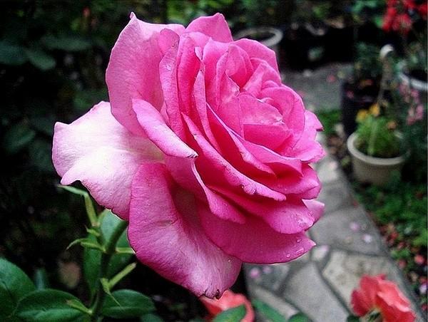 rose-marie-ange-nardi-8-roses-passion-807.jpg