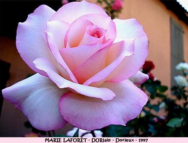 Rose marie laforet dorlain francois dorieux 1997 roses passion