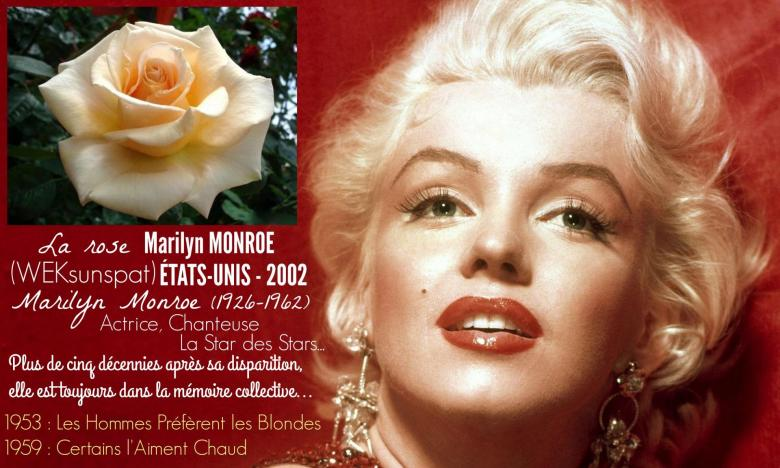Rose marilyn monroe weksunspat tom carruth weeks etats unis 2002 roses passion 2j