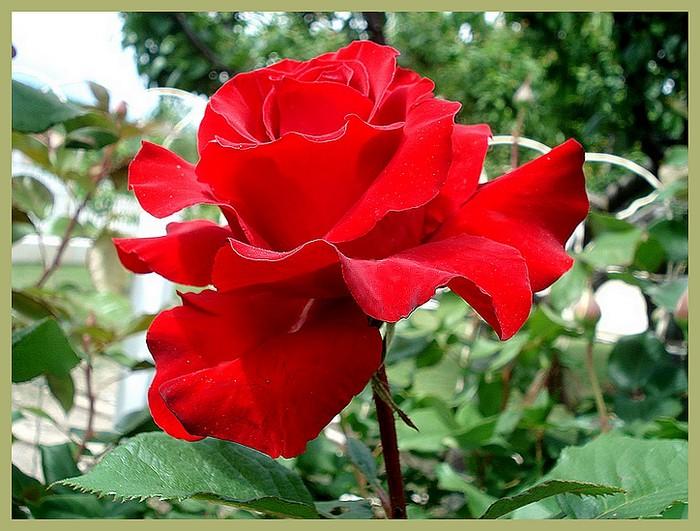 Rose marlena kortocrea roses passion 4022