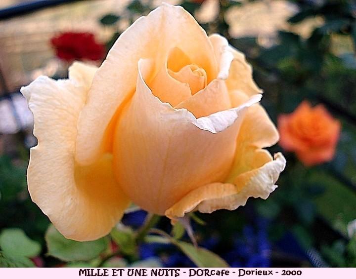Rose mille et une nuits dorcafe francois dorieux 2000 roses passion