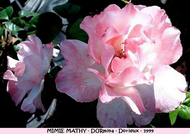Rose mimie mathy dormima francois dorieux 1999 roses passion