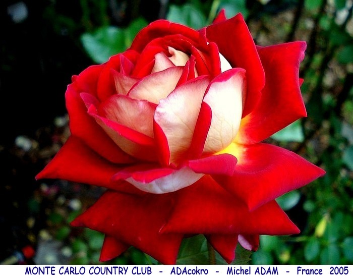Rose monte carlo country club adacokro michel adam 2005 rosesoassion