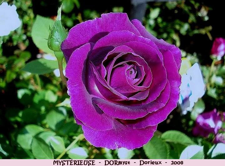 Rose mysterieuse dormyst francois dorieux 2008 roses passion
