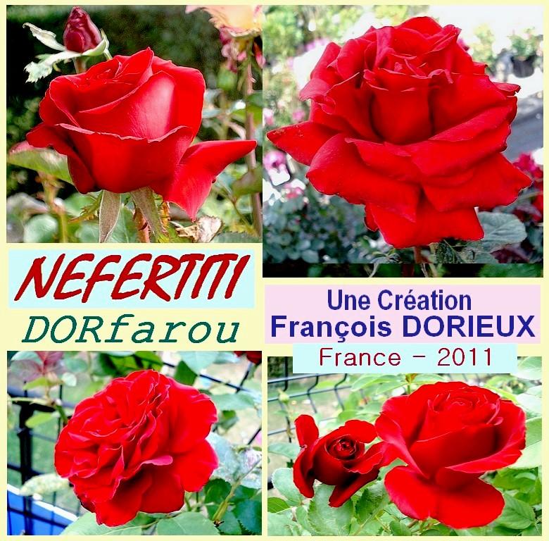 Rose nefertiti dorfarou francois dorieux france 2011
