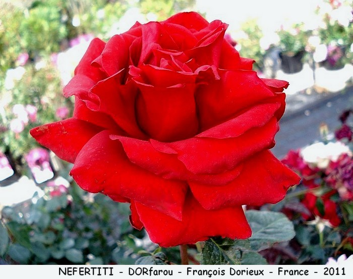 Rose nefertiti dorfarou francois dorieux france 2011 roses passion