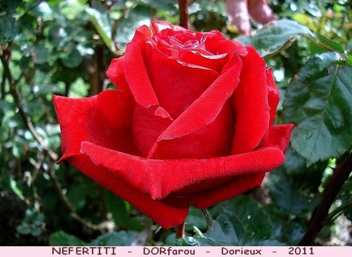 Rose nefertiti dorfarou francois dorieux roses passion