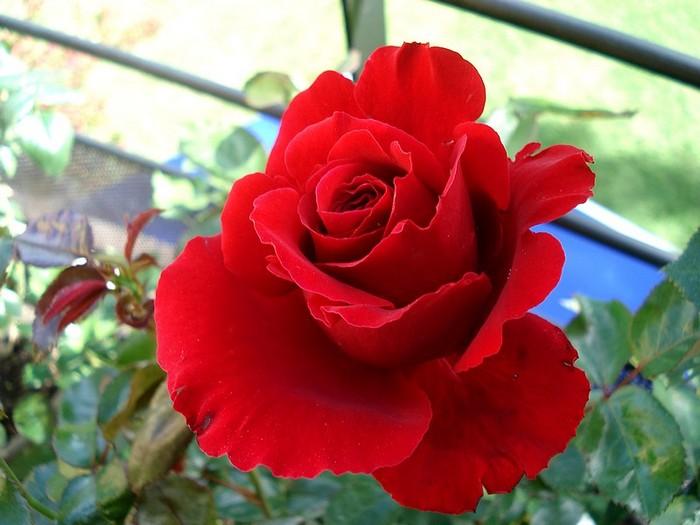 Rose nefertiti dorfarou roses passion 20