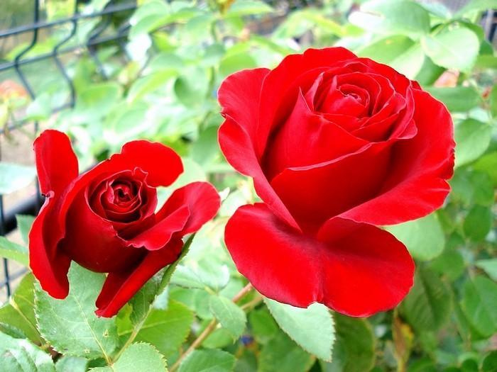 Rose nefertiti dorfarou roses passion 21