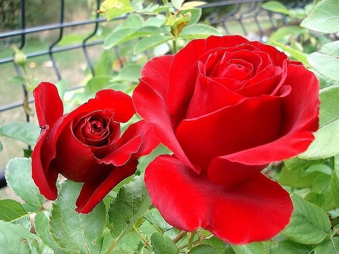 Rose nefertiti dorfarou roses passion 22