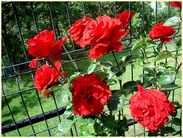 Rose nefertiti dorfarou roses passion 24