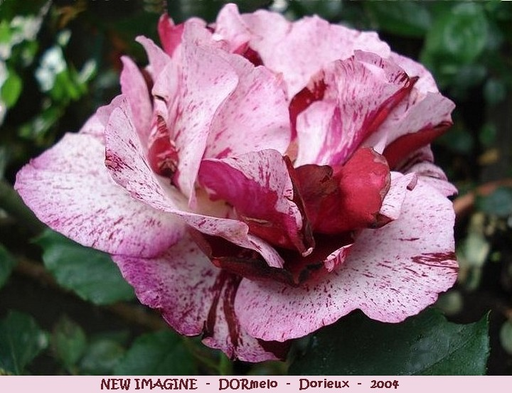 Rose new imagine dormelo francois dorieux 2004 roses passion