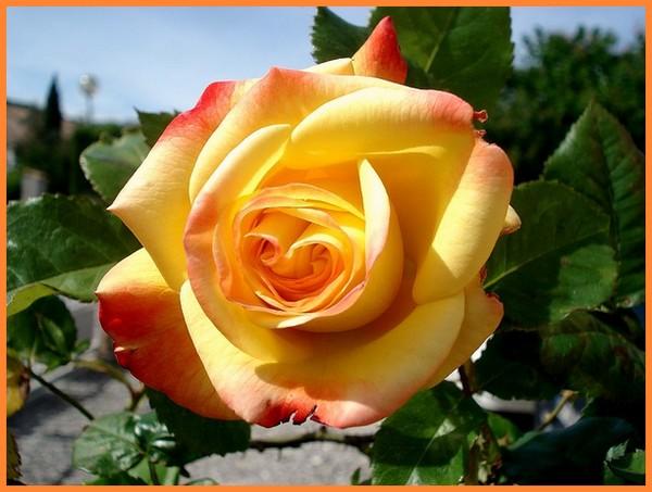 Rose night light poullight 8497