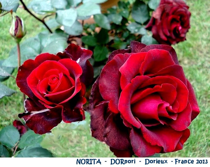 rose-norita-dornori-dorieux-france-2013-05368.jpg