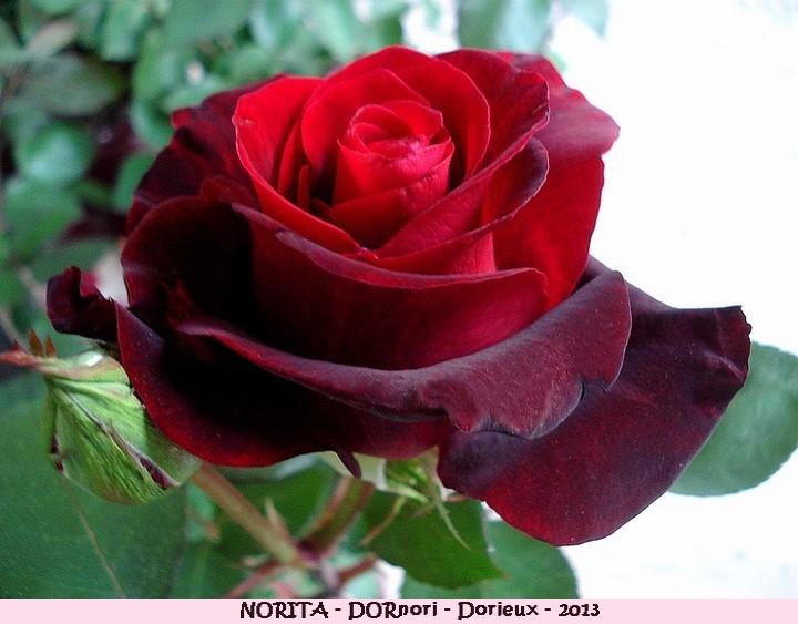 Rose norita dornori francois dorieux 2013 roses passion