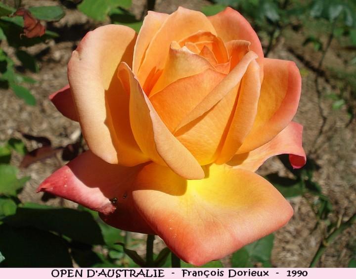Rose open d australie francois dorieux 1990