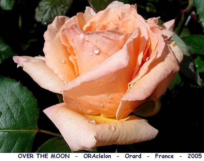 Rose over the moon oraclelon orard france 2005 rosespassion
