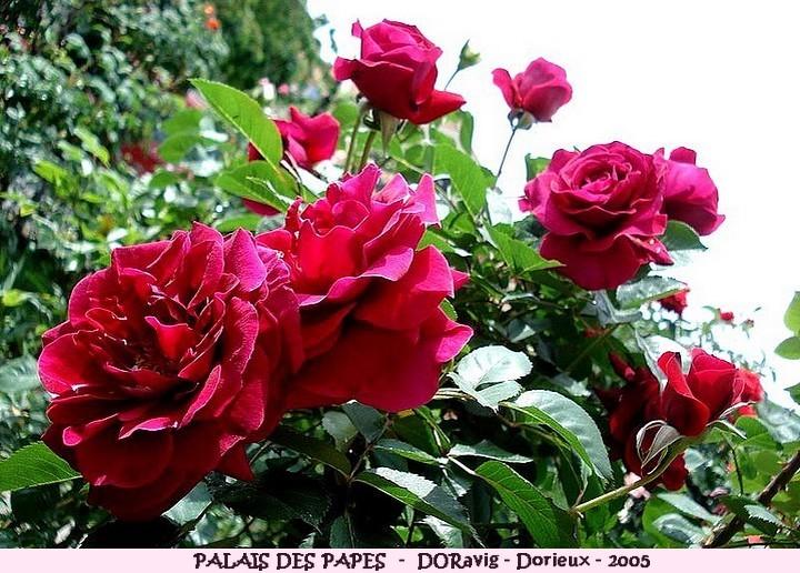 Rose palais des papes doravig francois dorieux 2005 roses passion