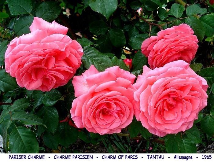 Rose pariser charme charme parisien charm of paris tantau allemagne 1965