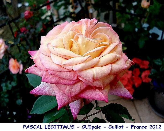 Rose pascal legitimus guipale guillot france 2012