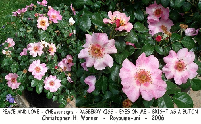 Rose peace and love chewsumsigns bright as a buton eyes on me raspberry kiss warner 2006