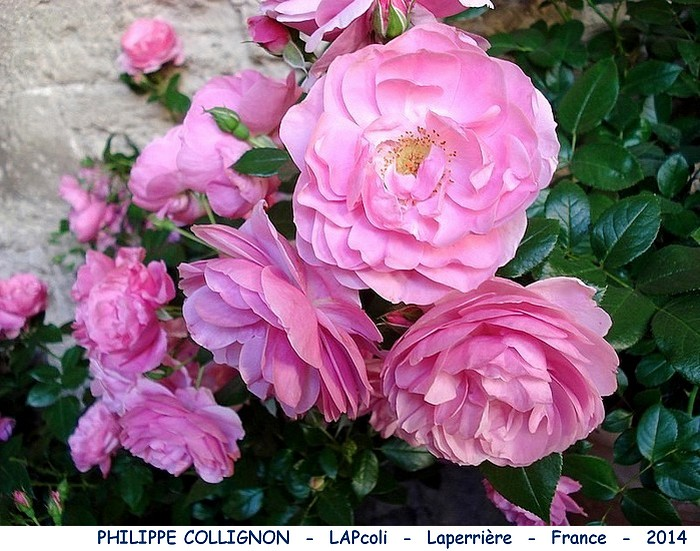 Rose philippe collignon lapcoli laperriere france 2014 rosespassion