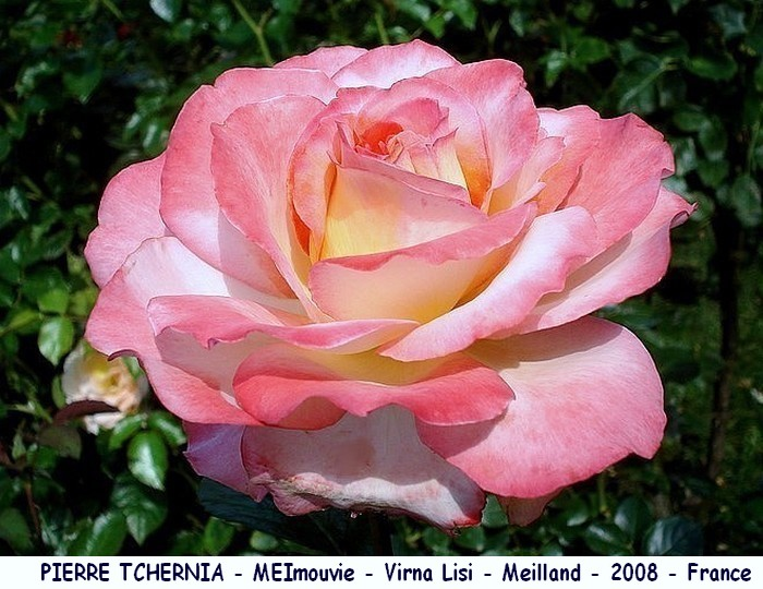 Rose pierre tchernia meimouvie virna lisi meilland 2008 roses passion