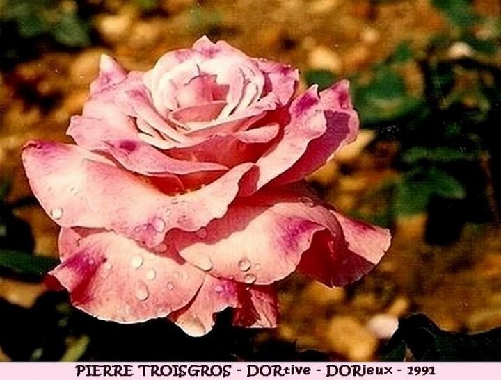 Rose pierre troigros dortive francois dorieux 1991 roses passion