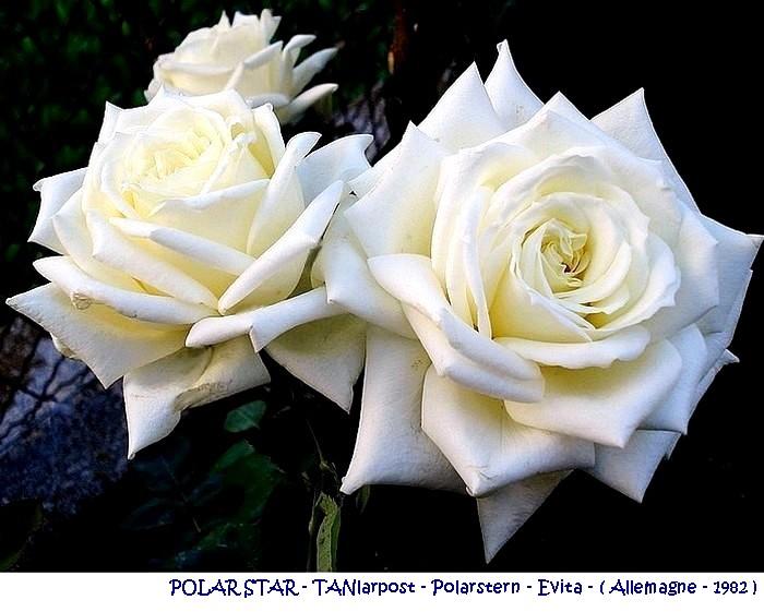 rose-polar-star-tanlarpost-evita-polarstern-stella-polare-allemagne-1982.jpg