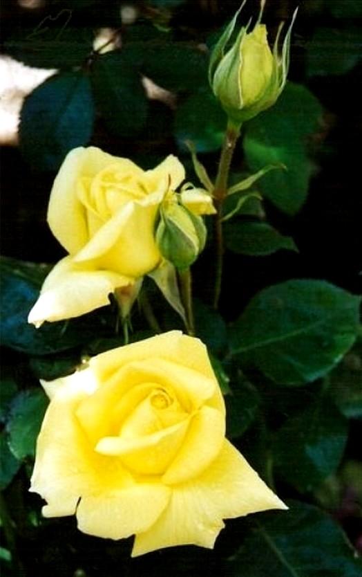 rose-president-armand-zinsch-2200.jpg