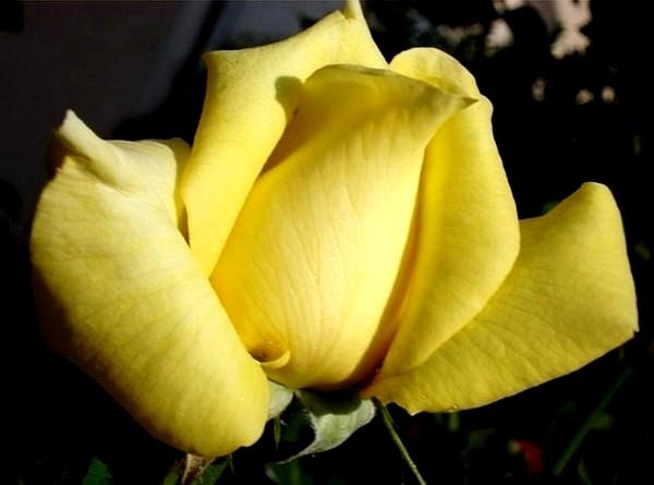 rose-president-armand-zinsch-2201.jpg