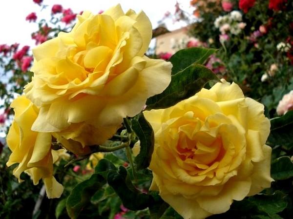 rose-president-armand-zinsch-2202.jpg