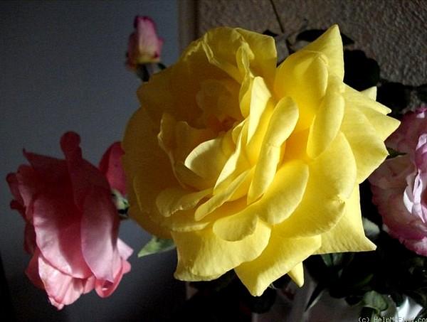 rose-president-armand-zinsch-2203.jpg