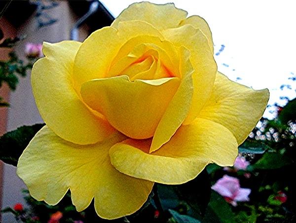 rose-president-armand-zinsch-2204.jpg