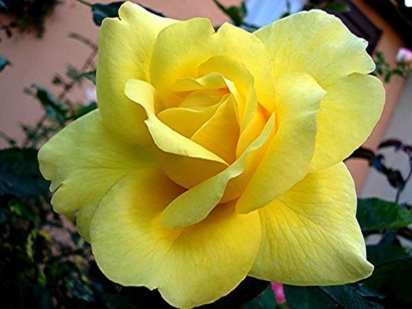 rose-president-armand-zinsch-2205.jpg
