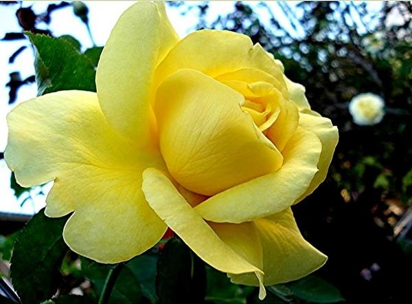 rose-president-armand-zinsch-2206-1.jpg