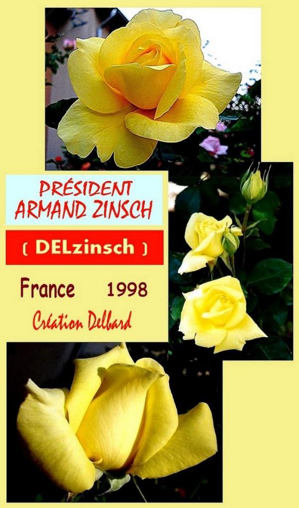 rose-president-armand-zinsch-belle-rose-jaune-delzinsch-roses-passion-2.jpg